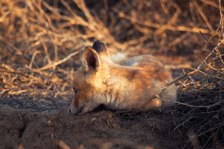 Fox kid lying on the ground near the hole. Chyornye Zemli (Black Lands) Nature Reserve, Kalmykia region, Russia. Stock Photo