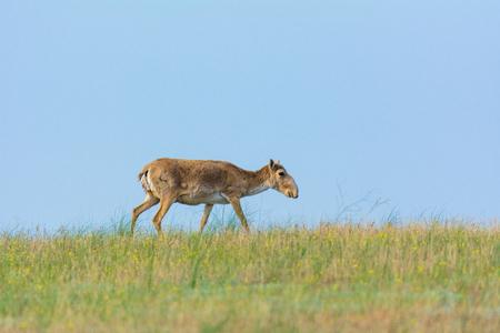 Nature Reserve, Kalmykia Region, Russia. Saiga tatarica Stock Photo