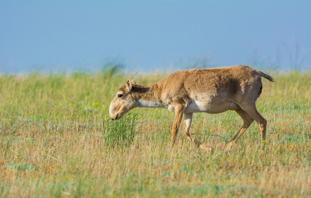 Nature Reserve, Kalmykia Region, Russia. Saiga tatarica Banque d'images