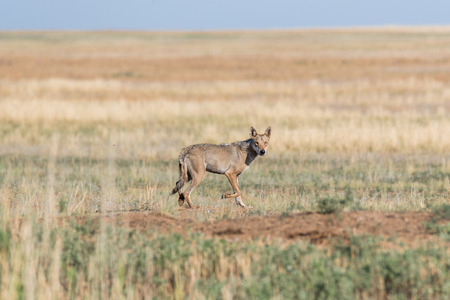 Wet Gray wolf (Canis lupus) runs across the field. Chyornye Zemli (Black Lands) Nature Reserve, Kalmykia region, Russia.