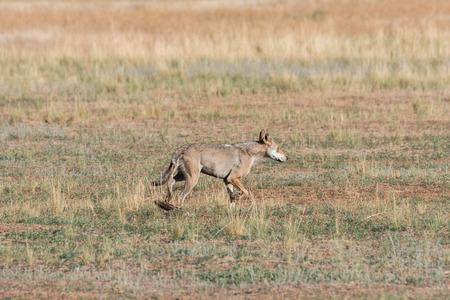 Wet Gray wolf (Canis lupus) runs across the field. Chyornye Zemli (Black Lands) Nature Reserve, Kalmykia region, Russia.