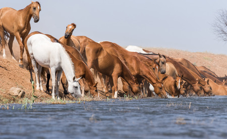 Horses at a watering place during strong heat and drought. Kalmykia region, Russia.