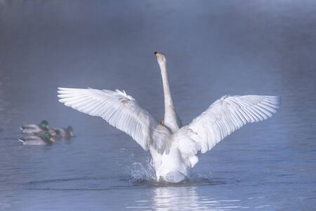 The swan flaps its wings. Dries wings and shows its dominance.