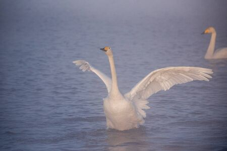 """The swan flaps its wings. Dries wings and shows its dominance. """"Lebedinyj"""" Swan Nature Reserve, """"Svetloye"""" lake, Urozhaynoye Village, Sovetsky District, Altai region, Russia"""