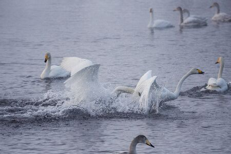 Fight of swans. A swan attacks another bird.