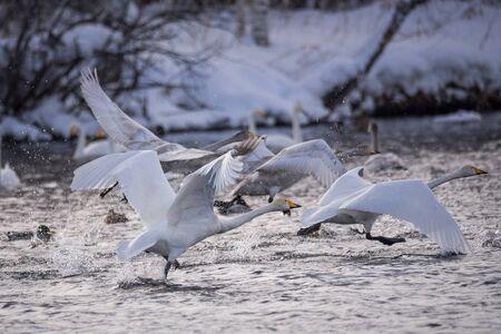 "Fight of swans. A swan attacks another bird. ""Lebedinyj"" Swan Nature Reserve, ""Svetloye"" lake, Urozhaynoye Village, Sovetsky District, Altai region, Russia"