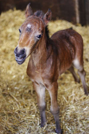 A one day old foal on straw looking at the camera