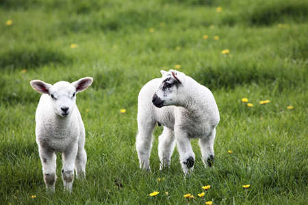 Spring lambs, one looking at the camera while the other looks at it Stock Photo - 12376153