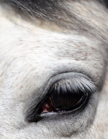 Close up of a dappled gray horse's eye