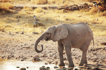 Baby african elephant at a watering hole