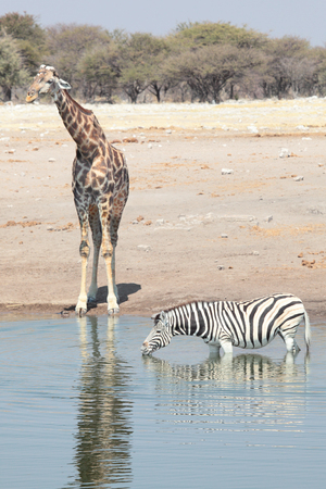 A giraffe and zebra at a watering hole
