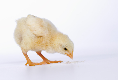 Baby chicken having a meal photo