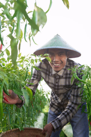 Farmer man picking chili on the field