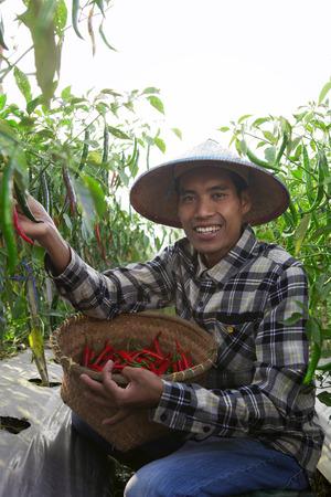 Man farmer picking fresh chilli pepper plant growing in farm