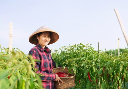 Farmer woman picking chili on the field