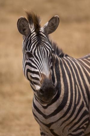 Zebra in Serengeti National Park Tanzania Africa Stock Photo - 17971529