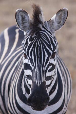 Zebra in Serengeti National Park Tanzania Africa Standard-Bild