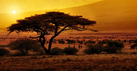 acacia tree: Africa Sunset