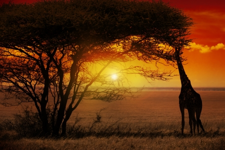 savanna: Africa Sunset