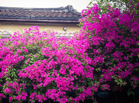 Bougainvillea in an ancient house