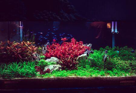 Closeup of Aquarium Tank, with Neon fish swimming.