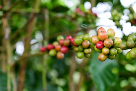 Coffee Cherries on Tree Branch