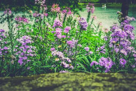 Purple Dianthus caryophyllus, carnation or clove pink Stok Fotoğraf