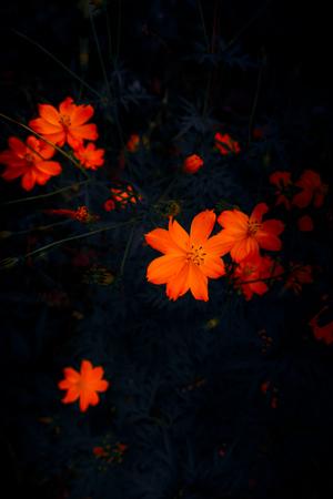 Wild Orange Flowers, Dark Background Stok Fotoğraf