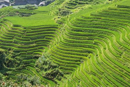 gradas: Terrazas de arroz de LongJi (provincia de Guangxi, China) a finales de verano. La l�nea alrededor de la monta�a forma casi un patr�n abstracto