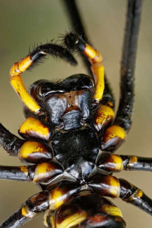 arthropoda: Macro front view of spider Nephila pilipes taken in Lantau island Hong Kong