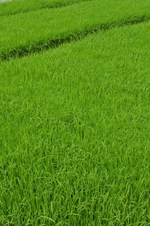 ricefield: Green rice fields