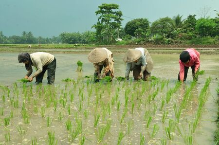 ricefield: Agriculture Farmer in indonesia Editorial