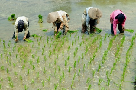 traditional Ricefield worker in south east asia Stock Photo - 21955045