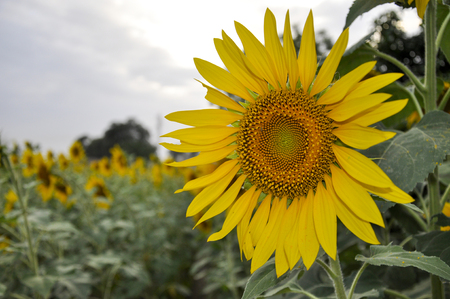 Sunflower crops in the rural area of the Punjab Province 写真素材