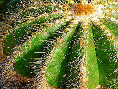 A fascinating flower of the cactus plant in Malaysia