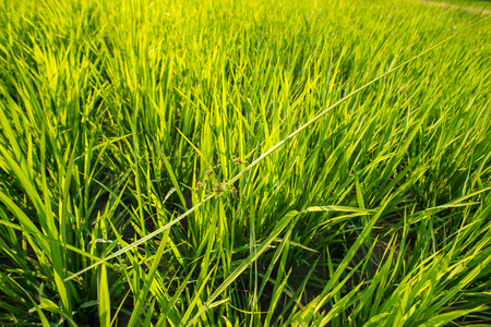 survive: The harmony to survive of weed over the rice field