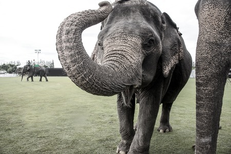 black giant mountain: elephant playing with the camera