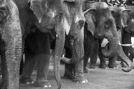 row of elephants