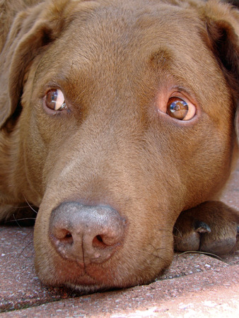 retreiver: Mans best friend - a close-up of a Chesapeake Retreiver Stock Photo