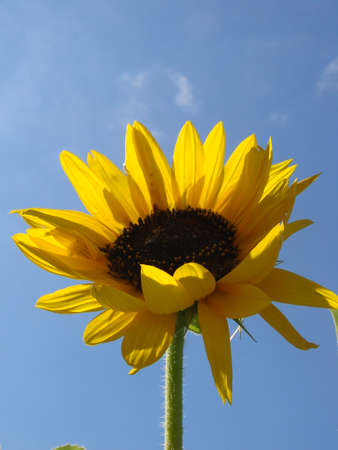 Sunflower in the sun photo