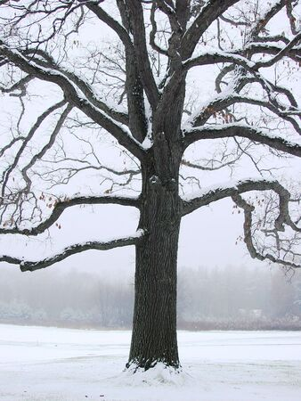 A unique tree in winter after a storm photo
