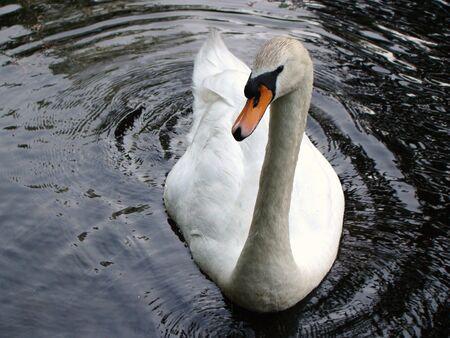 A closeup of a swan