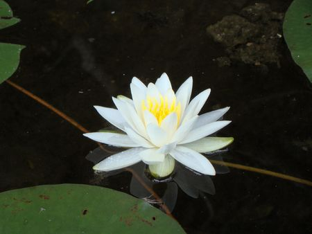 A lily pad flower floats on the water photo