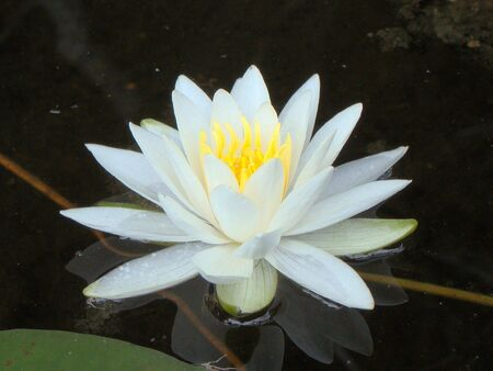 Lily on a pond Archivio Fotografico