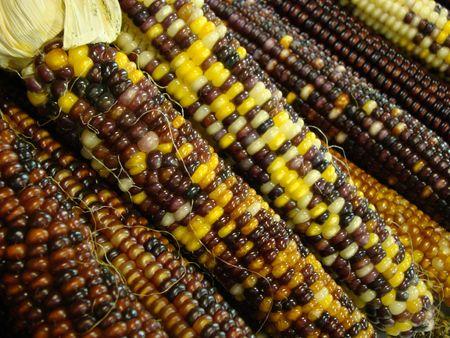 Rows of indian corn Archivio Fotografico