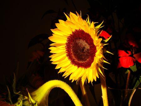 A sunflower glows in the sun Archivio Fotografico