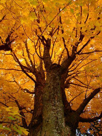 A large sugar maple during peak foliage photo
