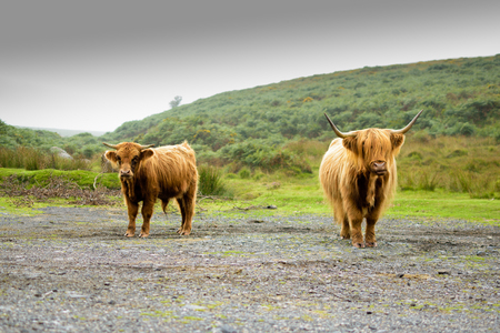 coo: Highland coo (Scotland cow) in Dartmoor National Park in Devon, England, UK