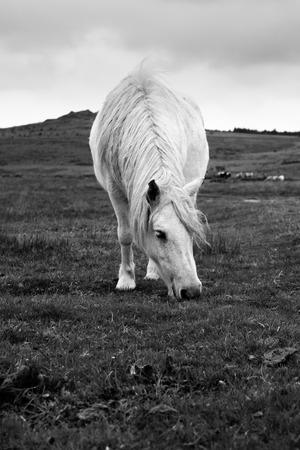 black moor: Wild horse in Dartmoor National Park in Devon, England, UK