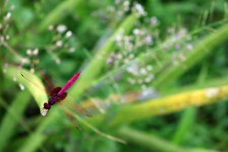 Beautiful purple red dragonfly in the garden.